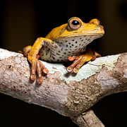 Rainforest Metal Prints - Tree Frog On Twig In Rainforest Metal Print by Dirk Ercken