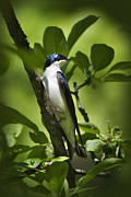 Bird Portrait Posters - Tree Swallow Poster by Christina Rollo
