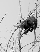 Possum Photos - Treed Opossum by Robert Frederick