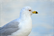 Ring-billed Gull Prints - True Blue Print by Fraida Gutovich