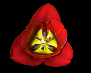 Mark Dodd - Tulip Closeup