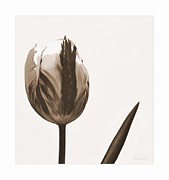 Marija Djedovic - Tulips