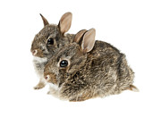 Hares Prints - Two baby bunny rabbits Print by Elena Elisseeva