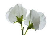 Virginal Posters - Two White Sweet Peas 2 Poster by Ann Garrett