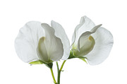 Virginal Posters - Two White Sweet Peas Poster by Ann Garrett