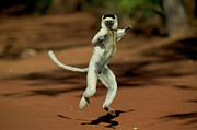 Berenty Framed Prints - Verreauxs Sifaka Propithecus Verreauxi Framed Print by Cyril Ruoso