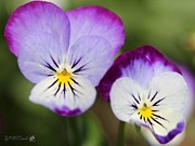 Sorbet Prints - Viola named Sorbet Lemon Blueberry Swirl Print by J McCombie