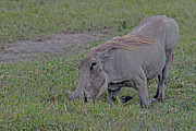 Tanzania Framed Prints - Warthog Framed Print by Tony Murtagh