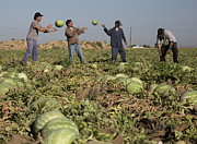 Farmworker Prints - Watermelon Harvest Print by Jim West