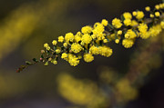 Wattle Framed Prints - Wattle Flowers Framed Print by Joy Watson