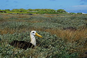 Waved Albatross Photos - Waved Albatross by Fabian Romero Davila