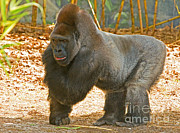 Ape. Great Ape Prints - Western Lowland Gorilla Male Print by Millard H. Sharp