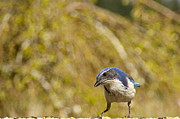 Featured On Fineart America - Western Scrub-Jay by Sean Griffin