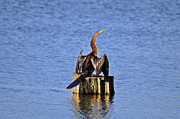 Anhinga Prints - Wet Wings Print by Al Powell Photography USA