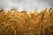 Harvesting Metal Prints - Wheat Metal Print by Elena Elisseeva