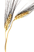 Nourishment Prints - Wheat On White Print by Carol Leigh