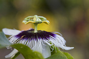Passiflora Photo Posters - Whispers of the Heart Poster by Sharon Mau