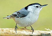 A Gurmankin - White Breasted Nuthatch...