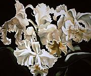 Cattleya Framed Prints - white Cattleya orchids Framed Print by Alfred Ng