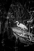 Florida Birds Prints - White Egret Print by Marvin Spates