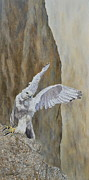 Steen Prints - White Gyrfalcon...feel free.... Print by Erna Goudbeek