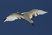 Meg White Prints - White Ibis in Flight Photo Print by Meg Rousher