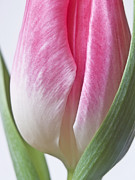 Pink Flower Prints Framed Prints - White Pink Green Flower Abstract - Spring Tulip Flowers - Digital Painting - Fine Art Photograph Framed Print by Artecco Fine Art Photography - Photograph by Nadja Drieling