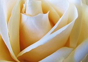 Carol Welsh - White Rose
