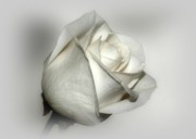 Indiana Digital Art Metal Prints - White Rose Metal Print by Sandy Keeton