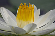 Waterlily Art - White Water Lily by Heiko Koehrer-Wagner