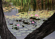 Sabrina L Ryan - Wild Water Lilies in the River