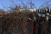 Donna Desrosiers - Winter Berries