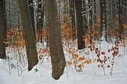 Winter Forest Print by Terri Gostola