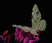 Leslie Crotty - Witch Moth and butterfly...