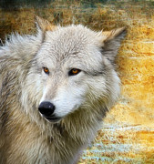 Attack Dog Photos - Wolf by Steve McKinzie