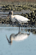 Dan Friend - Wood stork eating
