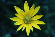 Carol Welsh - Yellow Daisy