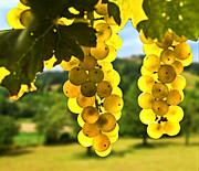 Grape Leaves Photo Posters - Yellow grapes Poster by Elena Elisseeva