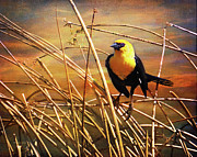 Canadian Marsh Prints - Yellow - Headed Blackbird Print by Theresa Tahara