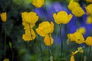Tiny Leaves Prints - Yellow Poppy Flower - VanDusen Botanical Garden Print by May L