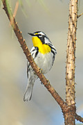 Wood Warbler Posters - Yellow-throated Warbler  Poster by Alan Lenk