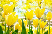 Mythja Posters - Yellow tulips Poster by Mythja  Photography