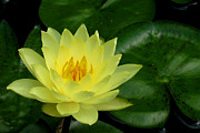 Kaufman Digital Art Acrylic Prints - Yellow Waterlily Flower Acrylic Print by Eva Kaufman