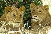 Lion Photos - Young Brothers by Michele Burgess