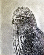 Hawk Drawings Framed Prints - Young Hawk Framed Print by John Duran