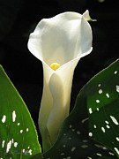 Jem Fine Arts Framed Prints - Zantedeschia named Little Jimmy Framed Print by J McCombie