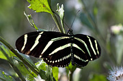 Insecta Art - Zebra longwing Butterfly by Rudy Umans