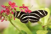 Zebra Longwing Butterfly Print by Saija  Lehtonen