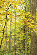 Hardwood Trees Posters - Autumn Monongahela National Forest Poster by Thomas R Fletcher