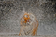 Eye Contact Photo Framed Prints - 2012 Nat Geo Photo Contest Winner Framed Print by Ashley Vincent